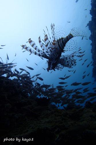 中黒礁 ハナミノカサゴのシルエット