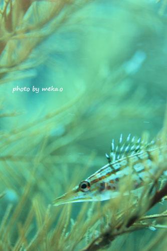 住崎 クダゴンベの幼魚