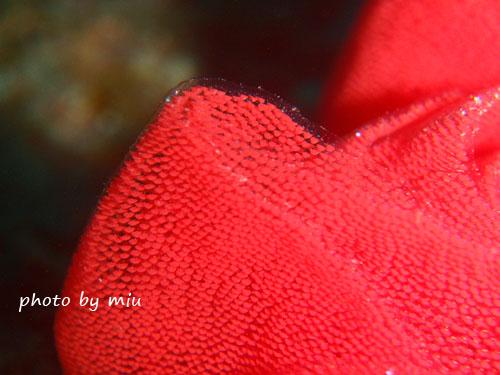 ミカドウミウシの卵