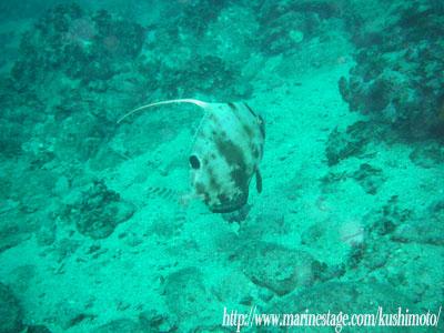 アンドの鼻 深海魚ヒメクサアジ!