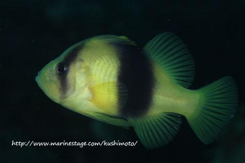 住崎 キハッソクの幼魚