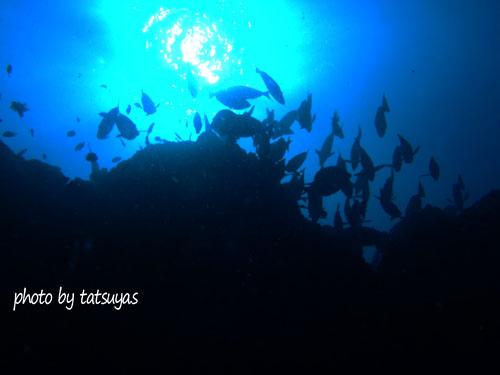 イスズミ礁 ニザダイ群れ