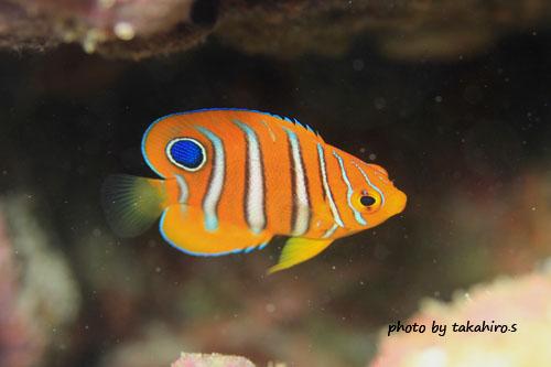 住崎 ニシキヤッコの幼魚