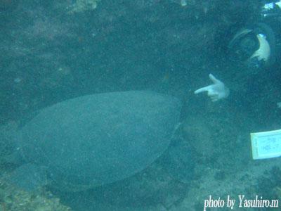 二の根 でかかったアオウミガメ