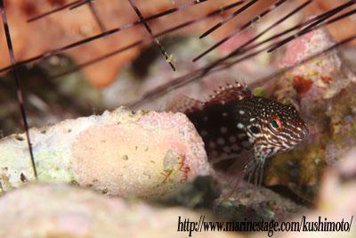 備前 スミツキゴンベの幼魚