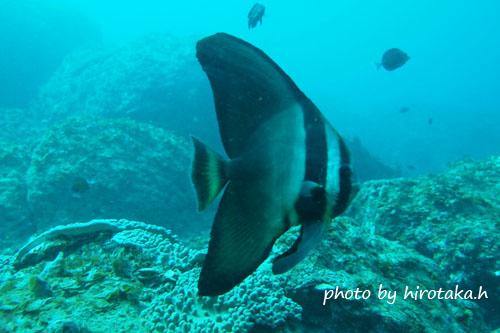 備前 ツバメウオの若魚