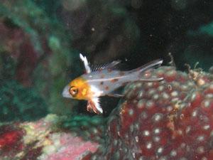 グラスワールド ヒオドシベラの幼魚