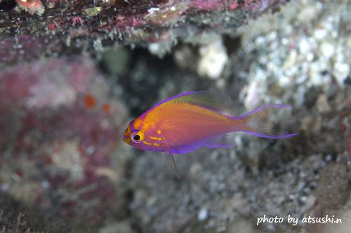 住崎 ハナゴンベの幼魚20141221