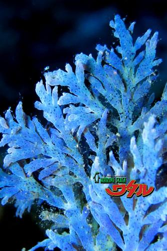 サンビラ 海藻さん