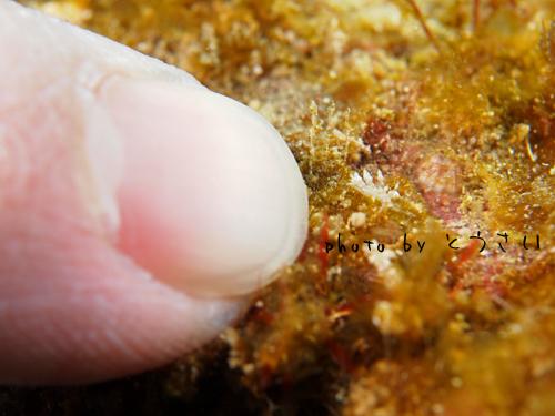 アンドの鼻 コマユミノウミウシ