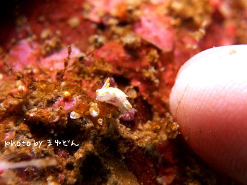 住崎 コトヒメウミウシ