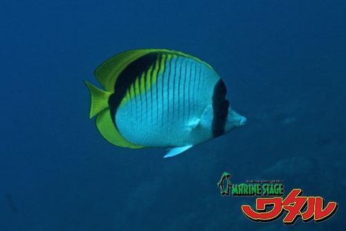 イスズミ礁 ニセフウライチョウチョウウオ