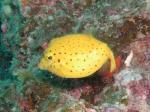 備前 ミナミハコフグの幼魚