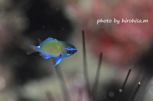 グラスワールド アマミスズメダイの極小幼魚