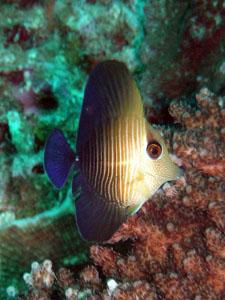 イスズミ礁 ゴマハギの幼魚