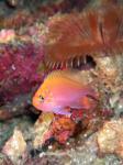 グラスワールド ハナゴンベの幼魚