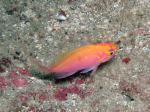 グラスワールド 美しいハナゴンベの幼魚