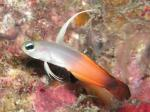 グラスワールド ハタタテハゼの幼魚