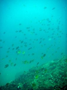 イスズミ礁 今日もチョウチョウウオは大行進