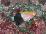 備前 キツネベラの幼魚