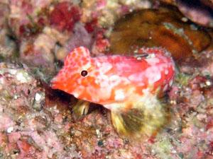 備前 ミヤケテグリの幼魚 写真は先日のです