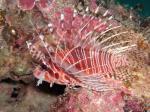 ネッタイミノカサゴの幼魚