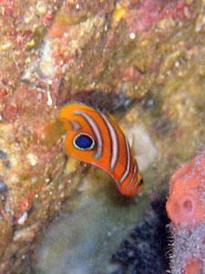 グラスワールド ニシキヤッコの幼魚