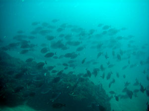 イスズミ礁 ニザダイの大行進
