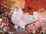 備前 オオモンカエルアンコウの幼魚(写真は先日のです)