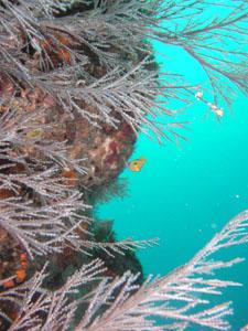 グラスワールド スミレナガハナダイの幼魚