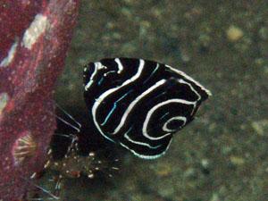 アンドの鼻 タテジマキンチャクダイの幼魚